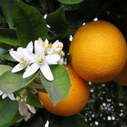 Як виростити домашній лимон?