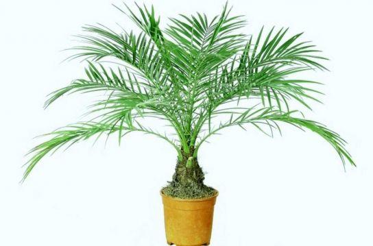 Як виростити фінікову пальму з кісточок?