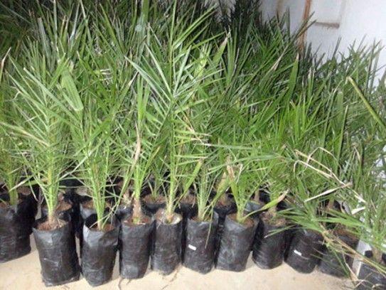 Основні правила вирощування фініки від кісточки до дерева