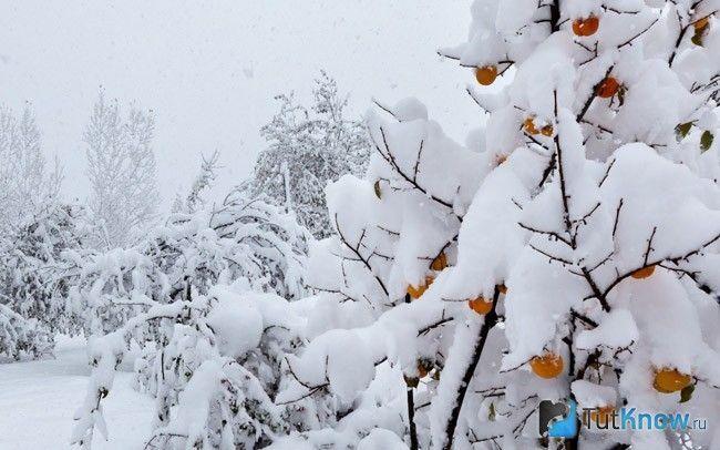 хурма взимку