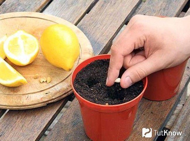 Посадка лимона з кісточки