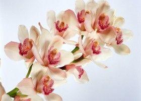 Як виростити орхідею в домашніх умовах?