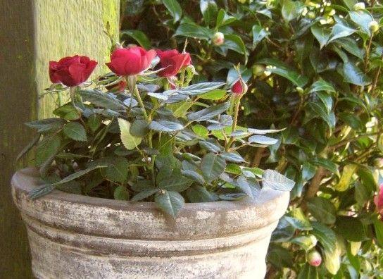 Як вибрати горщик для троянди?