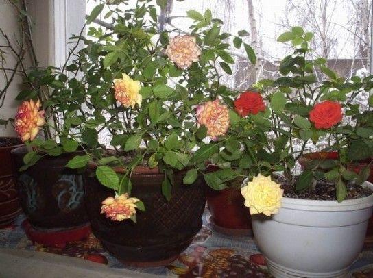 Як доглядати за трояндою?