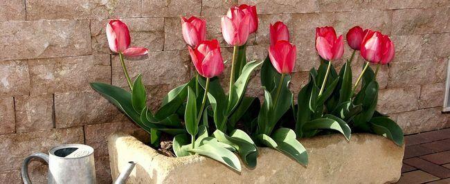 tulips-1002203_1280
