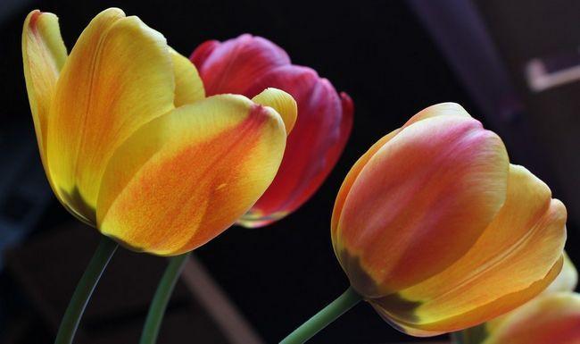 tulip-645005_1280