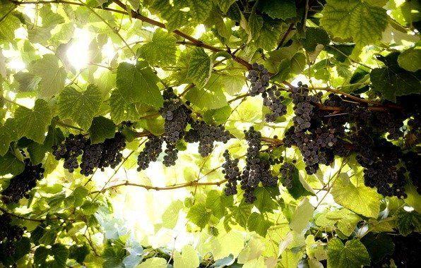Так росте виноград