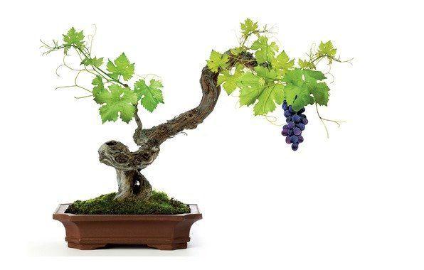 Виноград в домашніх умовах