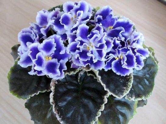 Як змусити фіалку цвісти?