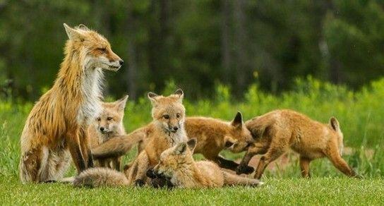 Яке ім`я можна дати лисички?