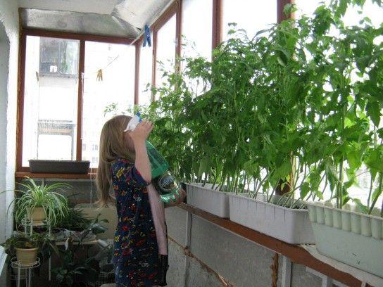Недостатнє харчування томатів