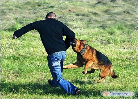 який зір у собак