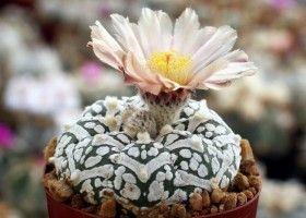 Кактус астрофітум: вирощування вдома