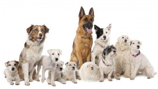 Яку собаку краще завести в приватний будинок?