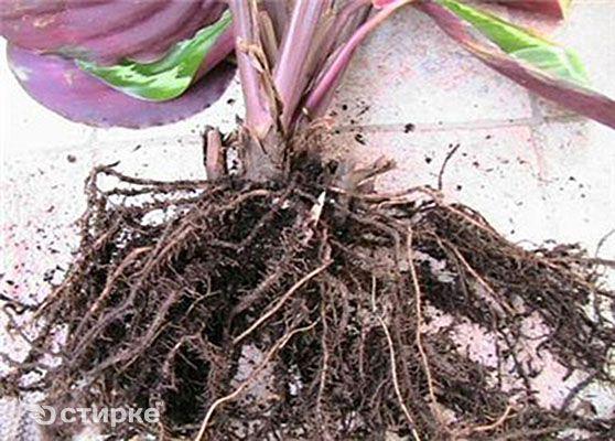 коріння калатеї
