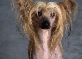 Китайська чубата собака: що це за порода? Фотографії та відео