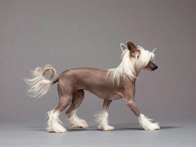 Гола китайського чубатого собаки