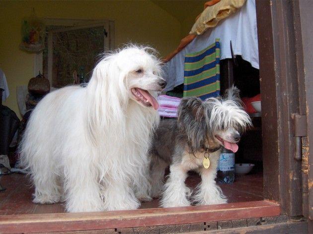 Пухові китайські чубаті собаки
