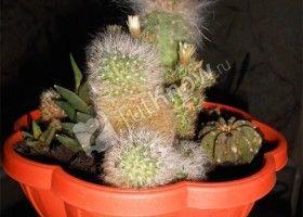 Композиція з кактусів своїми руками