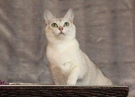 Кішка бурмілла: походження, догляд, ціна