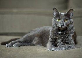 Кішка породи корат