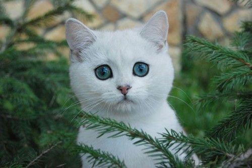 Кішка шиншила, особливості породи