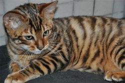 Кішка тойгер, особливості породи