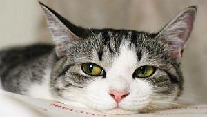 Кішка в будинку - користь і шкода
