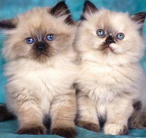 Домашні кошенята