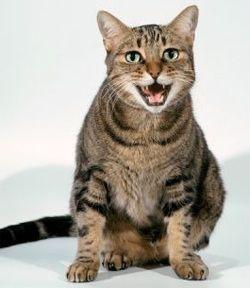 Кішки: кастрація і стерилізація