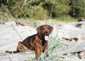 Кунхаунд (єнотова собака): рекомендації по догляду
