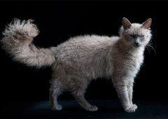 Ла перм - кучеряві кішки