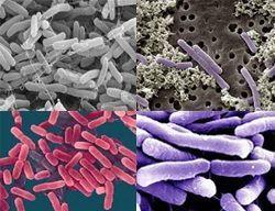 `біфідобактерії