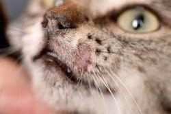 Лікування хламідіозу у кішок