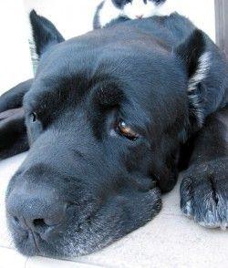 Лікування лептоспірозу у собак