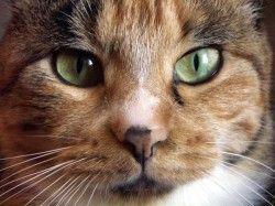 Лікування ринотрахеїту у кішок