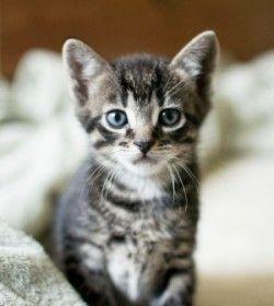 Лікування токсоплазмозу у кішок