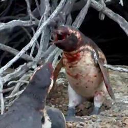 Любовний трикутник пінгвінів, що закінчився бійкою, сполохав інтернет