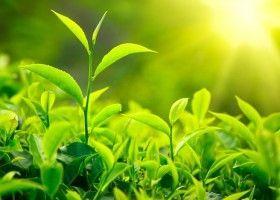 Масло чайного дерева: користь і особливості використання