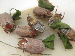 Методи боротьби з личинками хруща