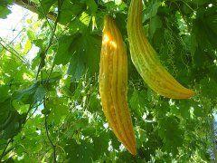 Момордика: як вирощувати і доглядати