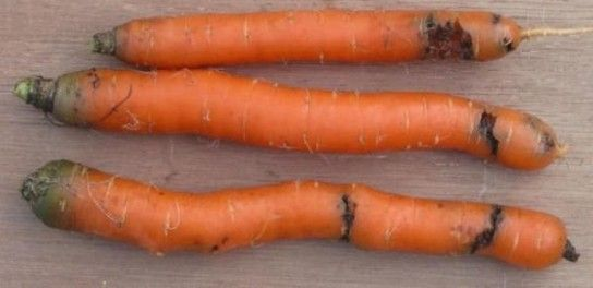 Як виявити ураження врожаю морквяної мухою?
