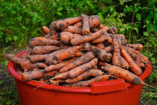 Морквяна муха: як з нею боротися?