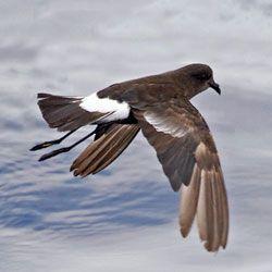 Морські птахи розпізнають родичів по запаху