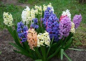 Мускари - вирощування в домашніх умовах