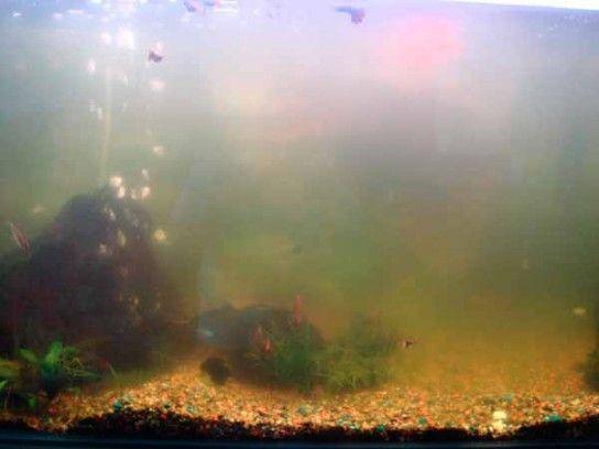Що робити з каламутною водою в акваріумі?