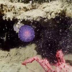 На дні океану виявили загадковий фіолетовий куля