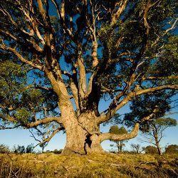 На евкаліптового деревах росте золото