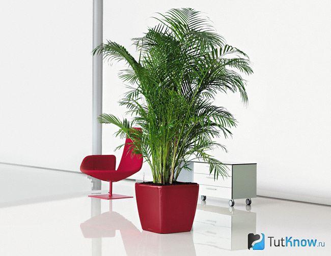 Неодіпсіс (діпсіс) - кімнатна пальма
