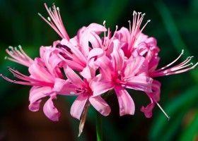 Неріне: вирощування в домашніх умовах